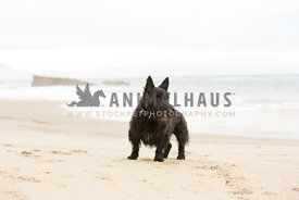 small black dog standing on the beach