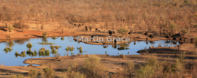 Waterhole with mixed wildlife (including Cape Buffalo, Guineafowl, Marabou Stork and egrets), below Victoria Falls Safari Lod...
