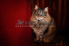 long hair cat seated against red background
