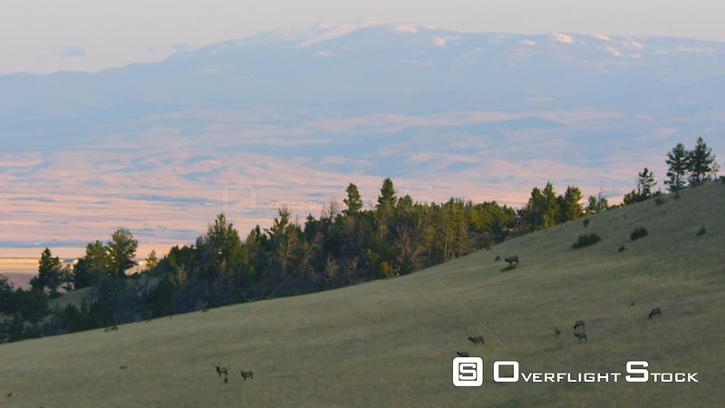 A herd of bull and cow elk wanders on a sun-bathed ridge at sunrise in southwestern Montana