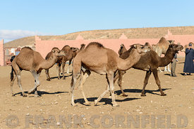 GUELMIM, MOROCCO – OCTOBER 31, 2015: Camels dromadaires(Camelus dromedarius) for sale at the weekly market in the south Moroc...