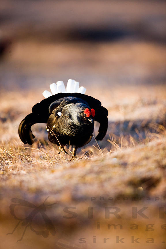 Black Grouse on the Lek