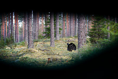 Capercaillie from Hide