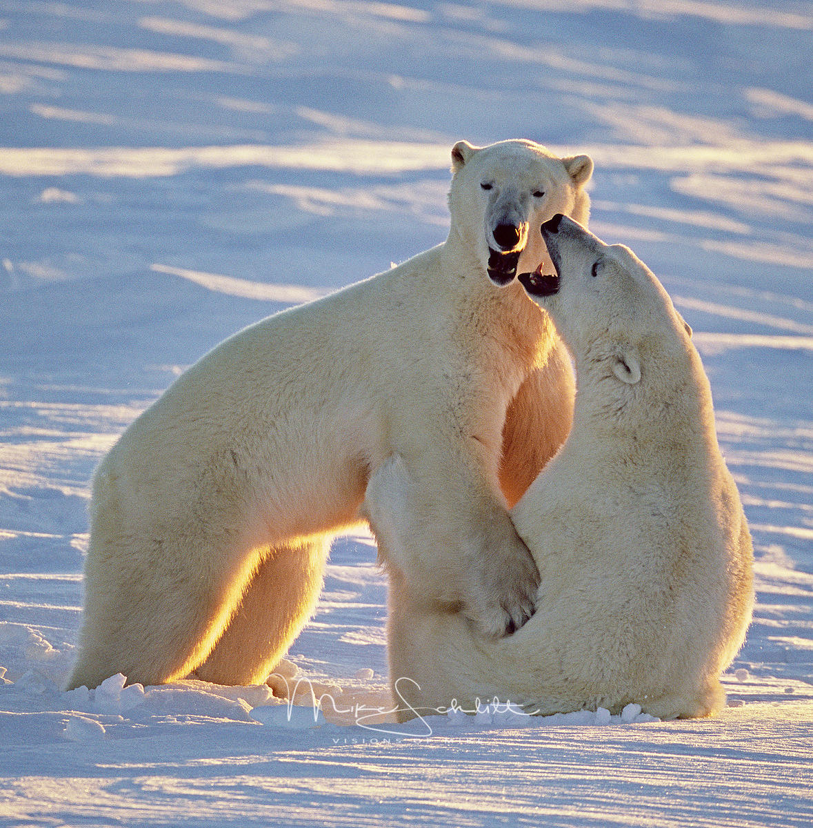 B_W_SCHL_tweeked_two_bear_fighting_crop_03_G