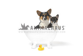 Two Corgi dogs taking a bath against a white background