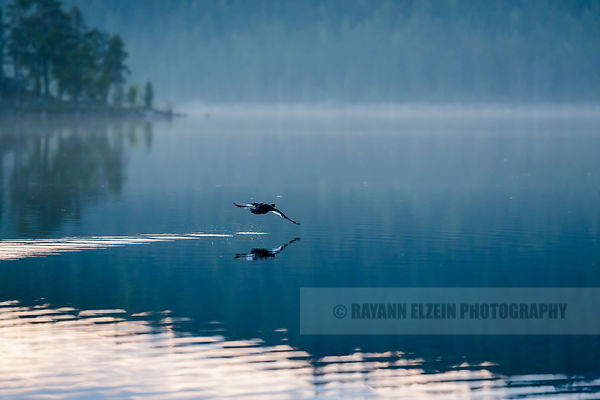 Duck flying above the Ukonjärvi lake