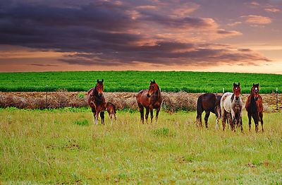 Tammy's_horses_sunset