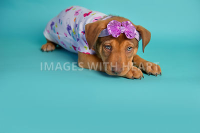 female brown puppy in purple headband and butterfly patterned onesie