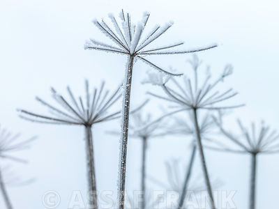 Frosty cow parsley
