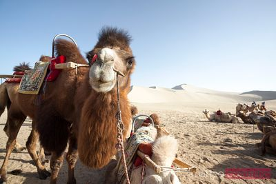 Camels in the sandy desert of Dunhuang, Gansu, China