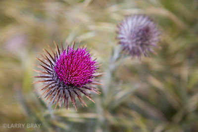 Deep pink thistle flowers against out of focus green foliage in San Francisco, USA