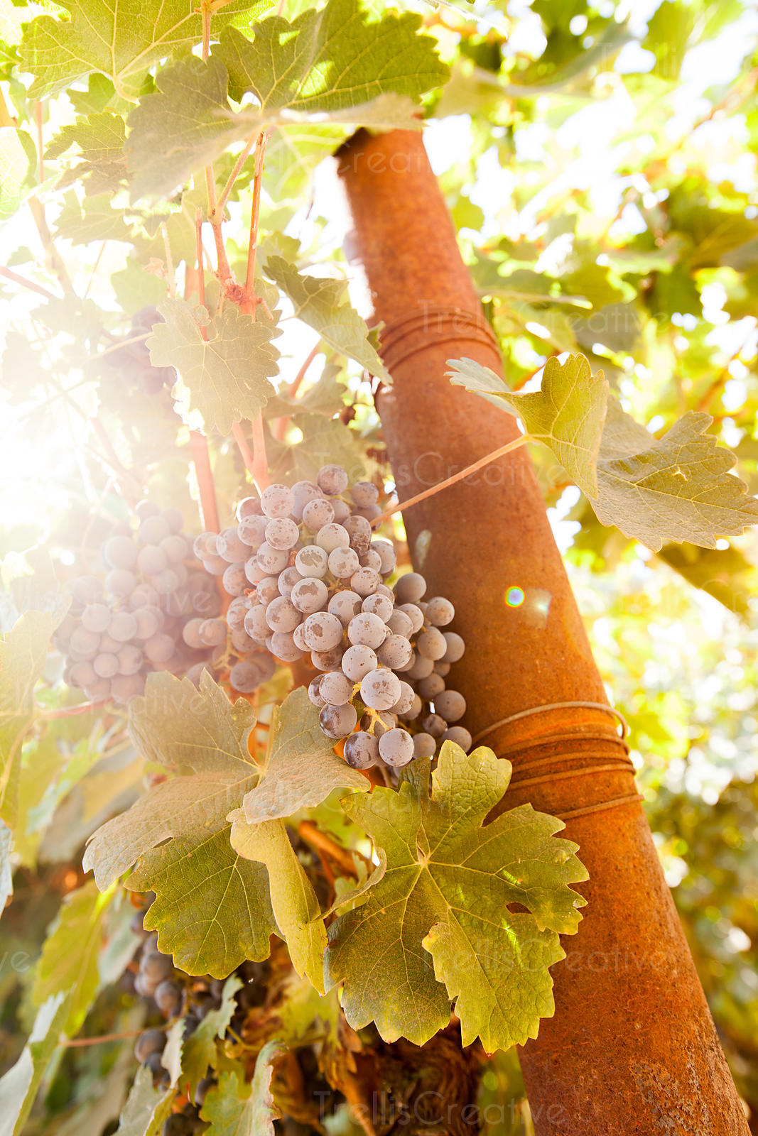 Sunlight streams through the grape clusters on the vine