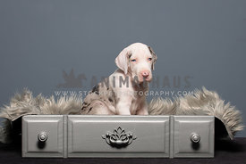 Great Dane Puppy in draw
