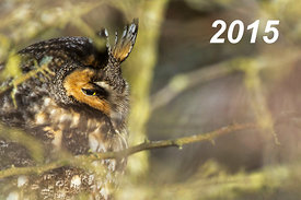 Front Cover - Long-eared Owl