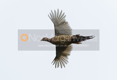 Game shooting images - hen pheasant in flight