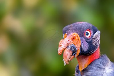 Closeup King Vulture Face With Copy Space