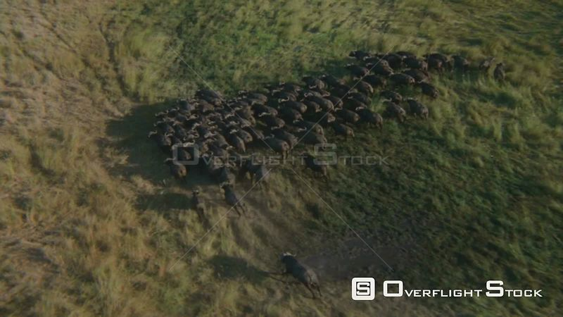 Aerial overhead shot large group of buffalo running together on flooded grassy plain, run behind a group of palm trees, the b...