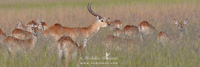 Water-loving antelopes