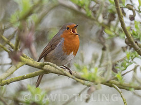 Robin Eithacus rubecula in song Norfolk May