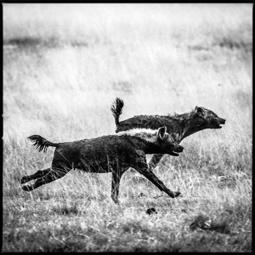 8891-Two_hyenas_running_fast_in_the_bush_Laurent_Baheux