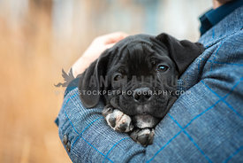 Cute little black Cane Corso puppy lying tired in owners arms smiling