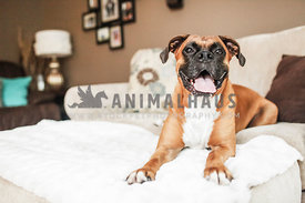 happy boxer laying on couch in living room