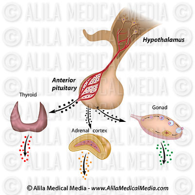 The hypothalamic pituitary axes