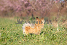 long haired chihuahua standing in grass looking away toward blooming pink trees