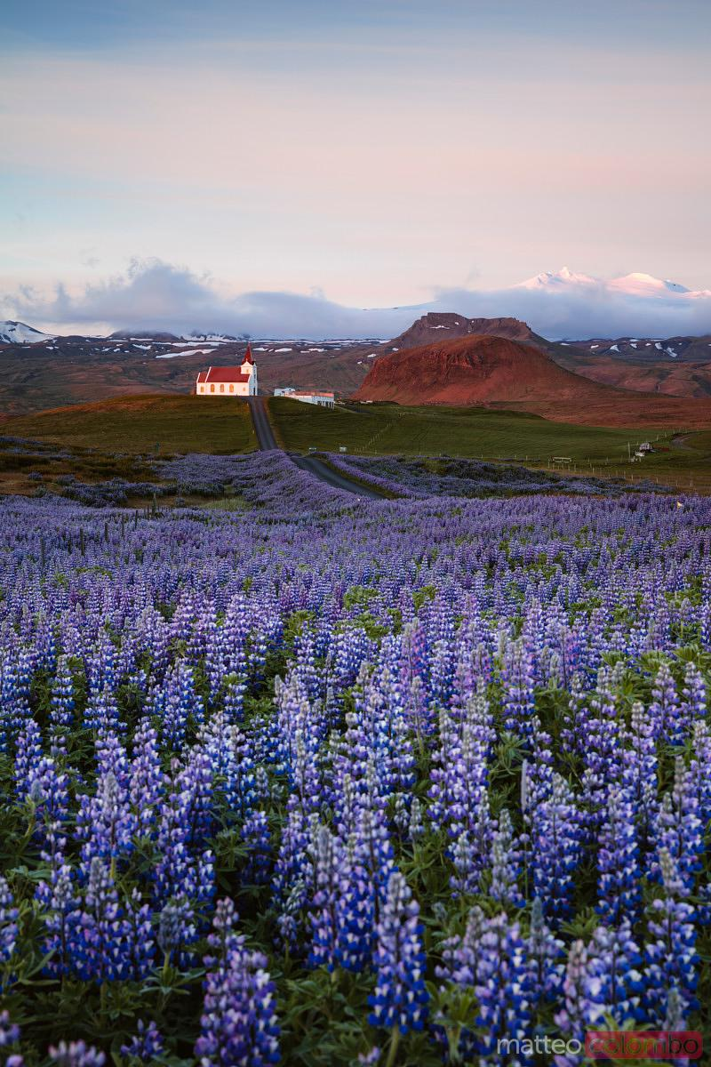 Lupin fields and church at sunrise, Snaefellsnes peninsula, Iceland