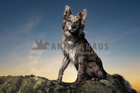 Aussie Mix full body portrait at Sunset
