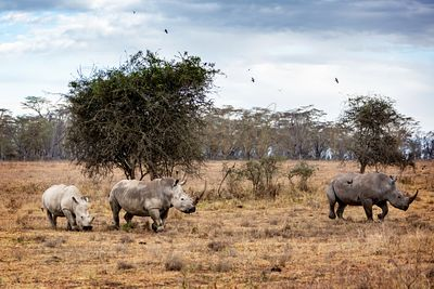 White Rhino Family in Lake Nakuru Africa