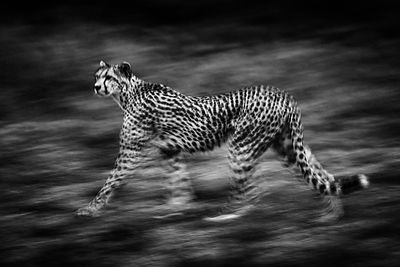2188-Cheetah_walk_Tanzania_2015_Laurent_Baheux