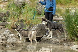A woman walking two huskies by a lake