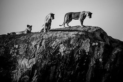 3451-Meeting_of_lions_on_the_big_rock_Tanzania_2015_Laurent_Baheux