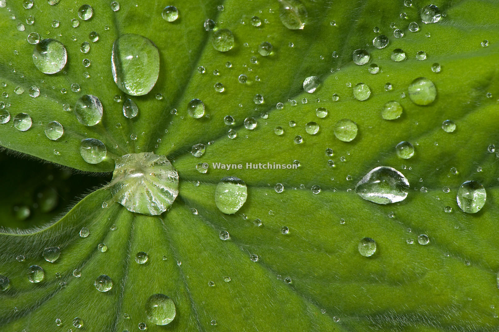 Water droplets on a plant leaf
