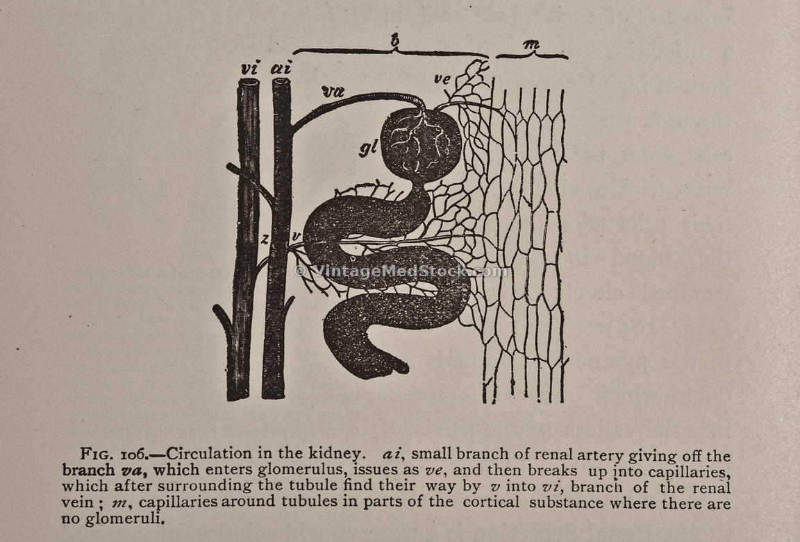 Circulation in the Kidney
