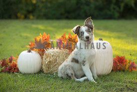 puppy with fall decor background
