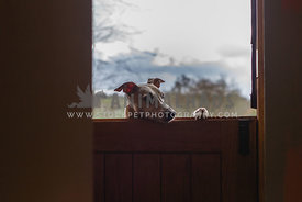 fawn whippet at the stable door of the house