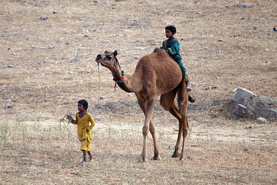 Children ride a camel, Pushkar, Rajasthan, India