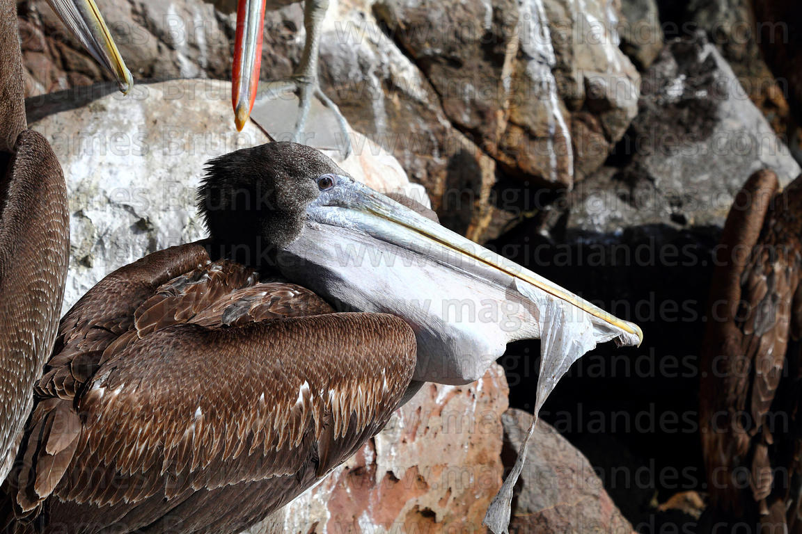 Immature Peruvian pelican ( Pelecanus thagus ) with beak full of plastic