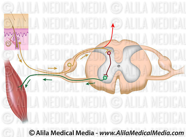 Reflex arc, unlabeled diagram.