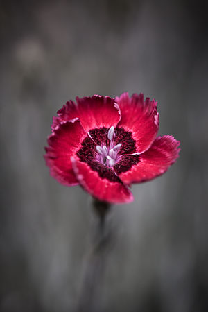 Red dianthus flower