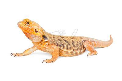 Orange Color Bearded Dragon