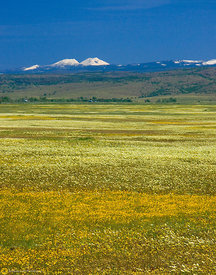 Wildflowers and Mount Lassen