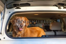golden retriever in back of white lexus suv