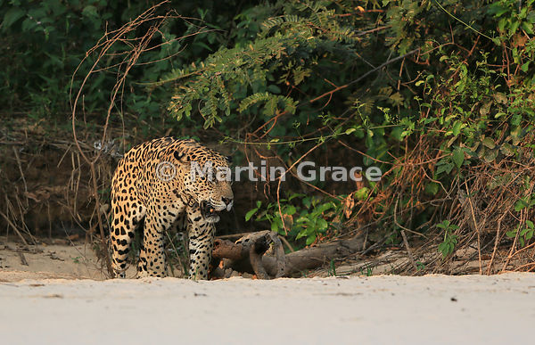 Male Jaguar 'Hero' (Panthera onca) mates with female 'Hunter', Three Brothers River, Northern Pantanal, Mato Grosso, Brazil. ...