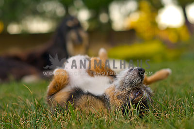 Terrier mix dog rolls in the grass