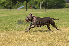 A blue pit bull running in a dog park in summer