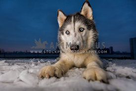 husky blue eyes wide angle blue sky