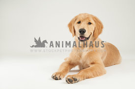 young golden retriever puppy laying on a white background happy and smiling